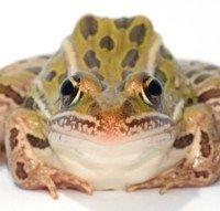 2111181_Leopard Frog